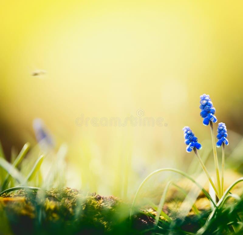 De achtergrond van de de lenteaard met mooie hyacintbloemen bij vage aard met bokeh Zonnige de lentedag, openlucht stock fotografie