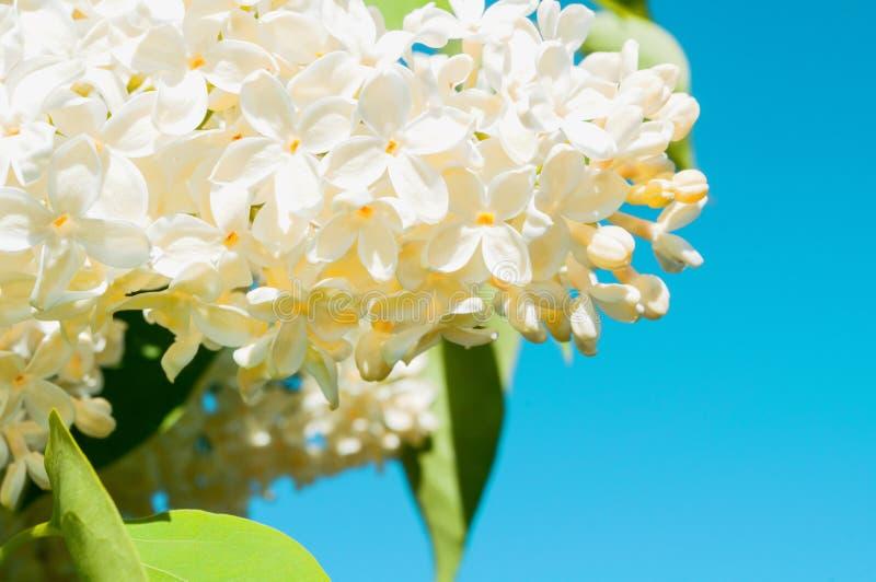 De achtergrond van de de lentebloem met witte lilac bloemen op de achtergrond van de blauwe hemel stock foto