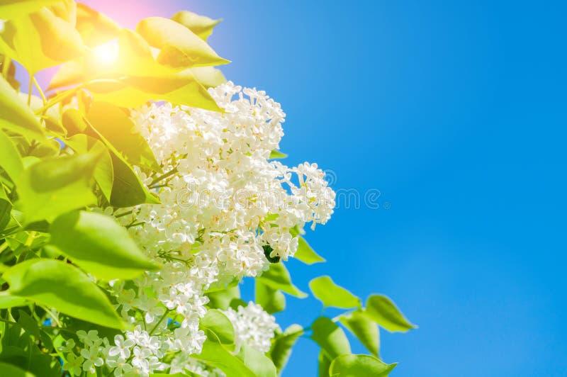 De achtergrond van de de lentebloem met witte lilac bloemen tegen blauwe hemel stock fotografie