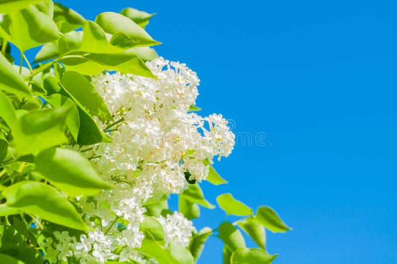 De achtergrond van de de lentebloem met witte lilac bloemen tegen blauwe hemel in zonnig weer royalty-vrije stock fotografie