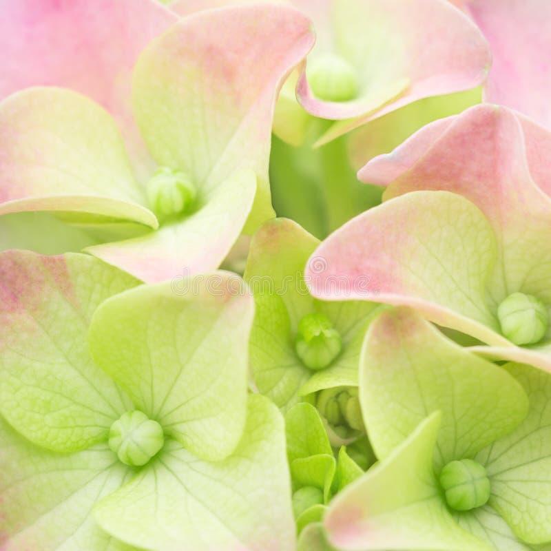 De achtergrond van de de lentebloem in pastelkleuren, Hortensia-bloemblaadjesclose-up stock fotografie