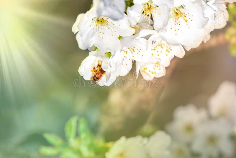De achtergrond van de de lentebloesem Mooie aardscène met bloeiende boom en zongloed Zonnige dag enkel Geregend Mooie boomgaard royalty-vrije stock afbeeldingen