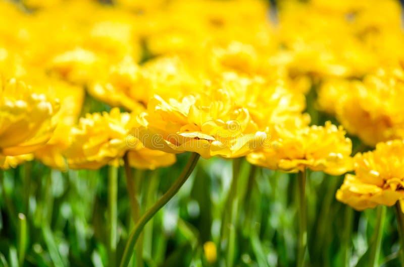 De achtergrond van de tulpenlente Gele tulpen heldere natuurlijke achtergrond De lente bloeit dicht omhoog Bloemenachtergrond voo stock afbeelding
