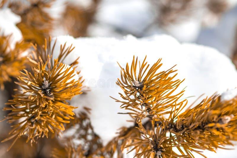De achtergrond van de winter Pijnboomtak door sneeuw wordt behandeld die De tijd van Kerstmis Sneeuw en ijzige boom royalty-vrije stock foto's