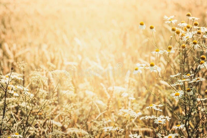 De achtergrond van de de zomeraard met gebied van wilde kruiden en bloemen stock afbeelding