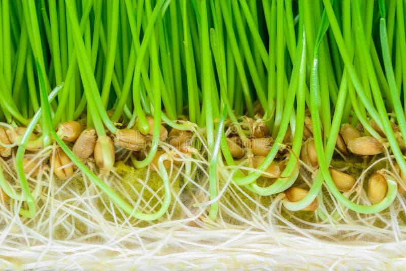 De achtergrondoppervlakte van crosscut ontsproot tarwe met zichtbare groene spruiten, zaden en witte wortels stock fotografie