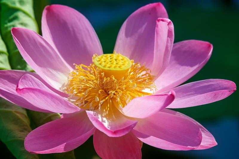 De achterhoede lotus seedpod en stamen royalty-vrije stock fotografie