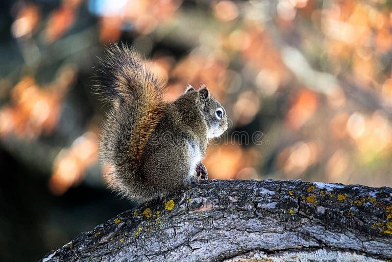 De achtermening van een eekhoorn op een tak met mos op het royalty-vrije stock foto's