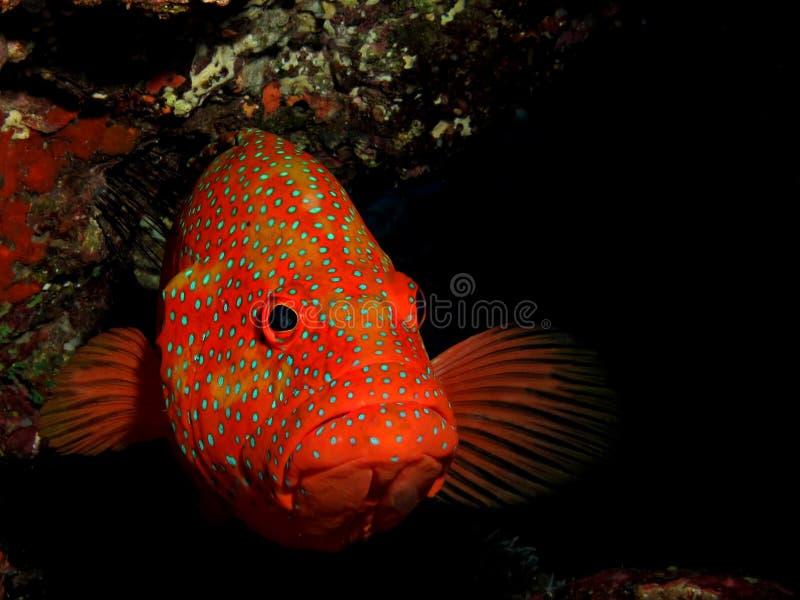 De Achterste Tandbaars van het koraal royalty-vrije stock fotografie