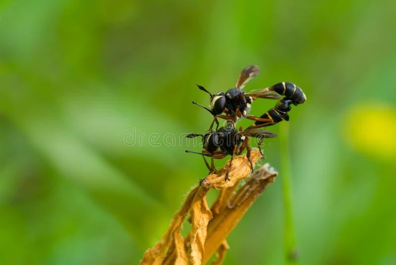 De acrobatiek van het wild - koppelingshandeling in wespfamilie stock fotografie