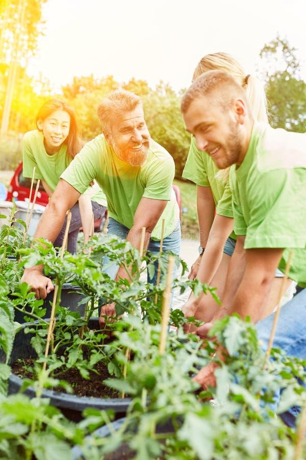 De activisten planten tomaten zoals tuinierend royalty-vrije stock foto