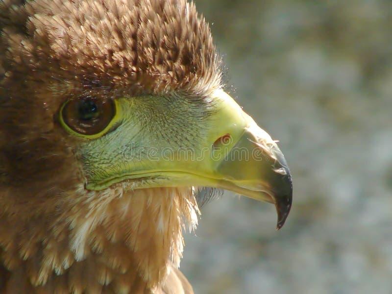 De adelaar van Bateleur stock foto's