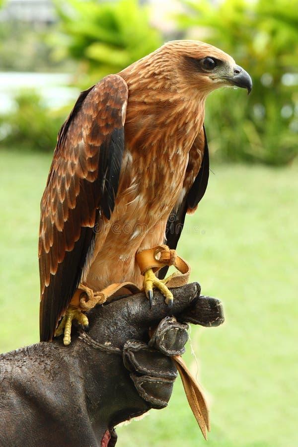 De adelaar van de hand royalty-vrije stock fotografie