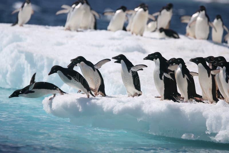De Adeliepinguïnen beginnen de sprong in de oceaan van een Antarctische ijsberg stock foto's