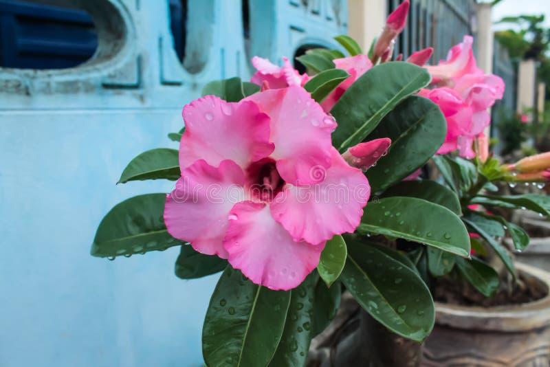 De Adeniumbloemen zijn bloeiend tot zij het stuifmeel kunnen zien binnen de bloem wordt verborgen die royalty-vrije stock afbeeldingen