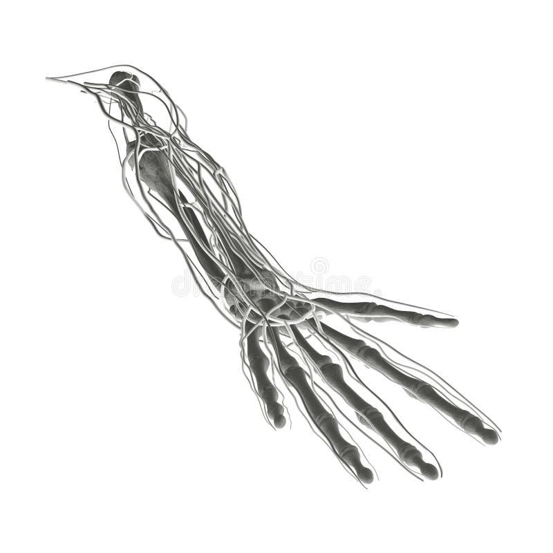 De Aders van de Slagaders van de Beenderen van de röntgenstraal royalty-vrije illustratie