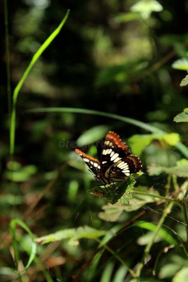 De Admiraal Butterfly van Lorquin op een Groen Blad stock afbeelding