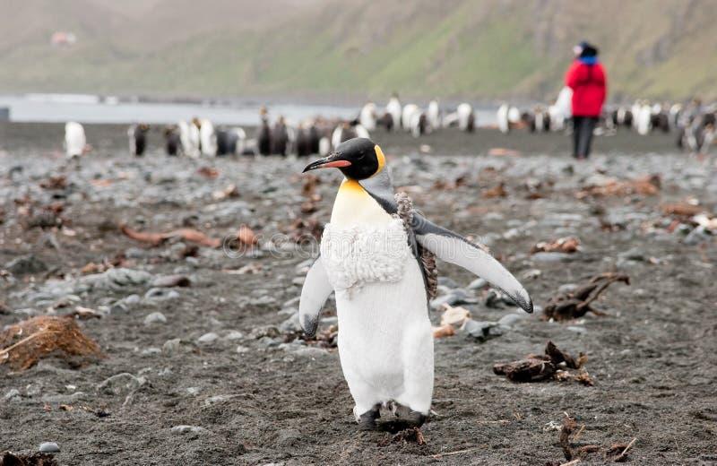 De adolescentie Pinguïn van de Koning royalty-vrije stock afbeelding