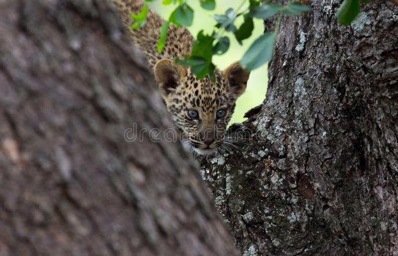 De afdaling van de luipaardbaby stock afbeeldingen