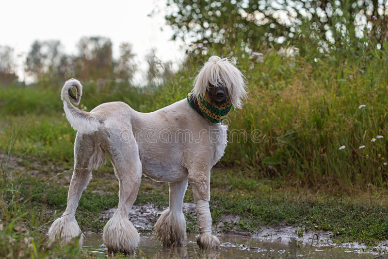De Afghaanse hond van de Hond stock foto
