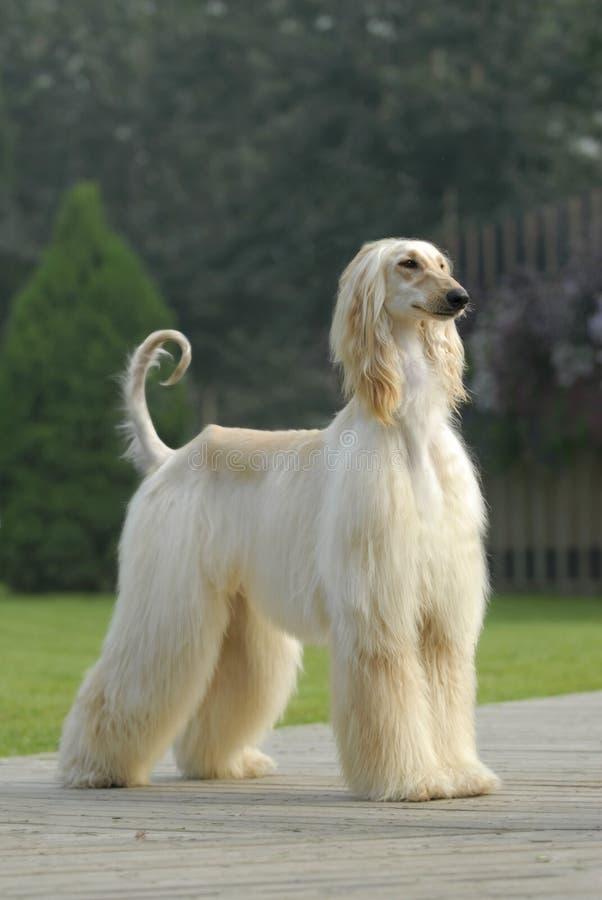 De Afghaanse Hond van de huisdieren van de hond stock foto's