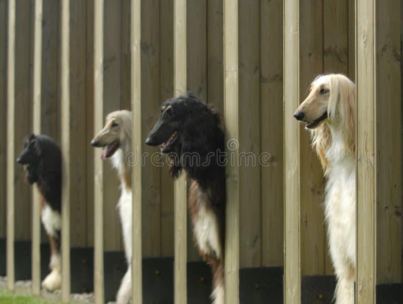 De Afghaanse Hond van de huisdieren van honden stock foto