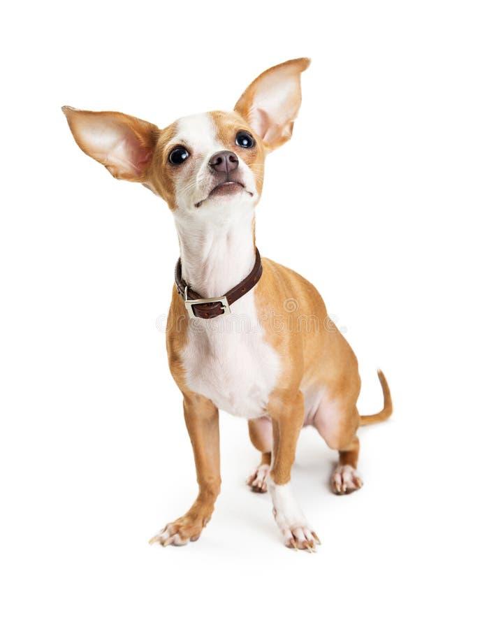 De Afluisteraar die van de Chihuahuahond omhoog eruit zien stock foto