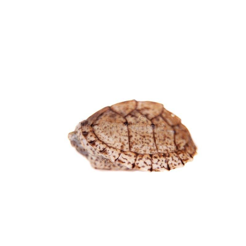 De Afrikaan keeled modderschildpad op wit royalty-vrije stock foto