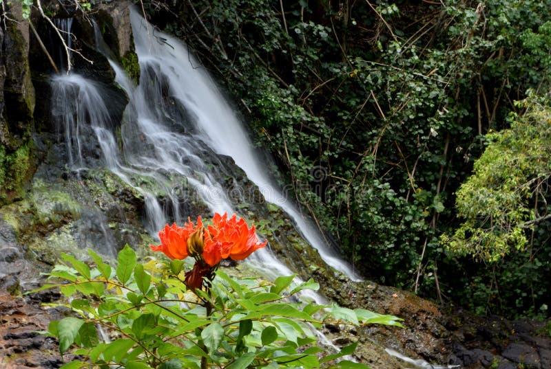 De de Afrikaanse bloem en waterval van Tulip Tree in Kauai Hawaï stock afbeelding