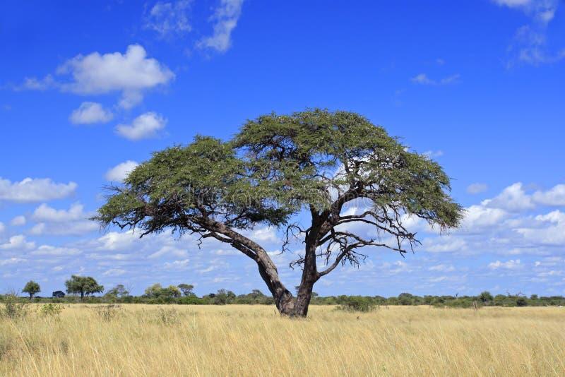 De Afrikaanse boom van de Acacia royalty-vrije stock afbeelding