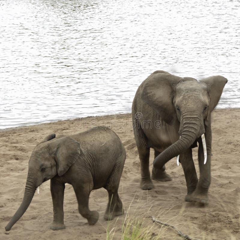 De Afrikaanse Bush-Olifanten nemen een zandbad op het strand van Mara Riv royalty-vrije stock foto