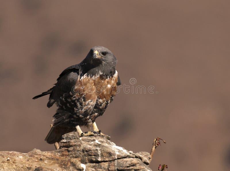 De Afrikaanse die Buizerd van de Jakhals op een rots wordt neergestreken die u bekijken royalty-vrije stock foto's