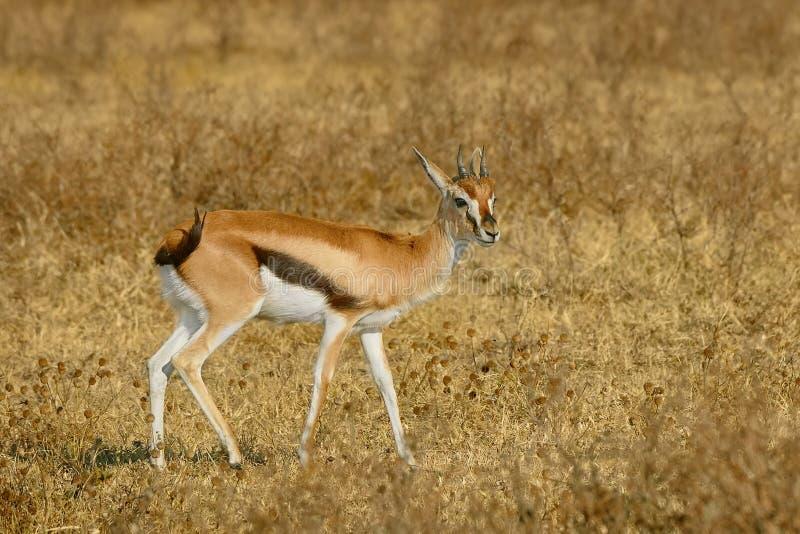 De Afrikaanse Gazelle van Thomson ` s royalty-vrije stock afbeelding