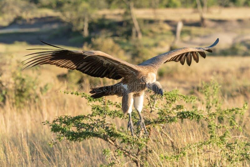 De Afrikaanse gier met witte rug komt binnen voor het landen stock afbeeldingen