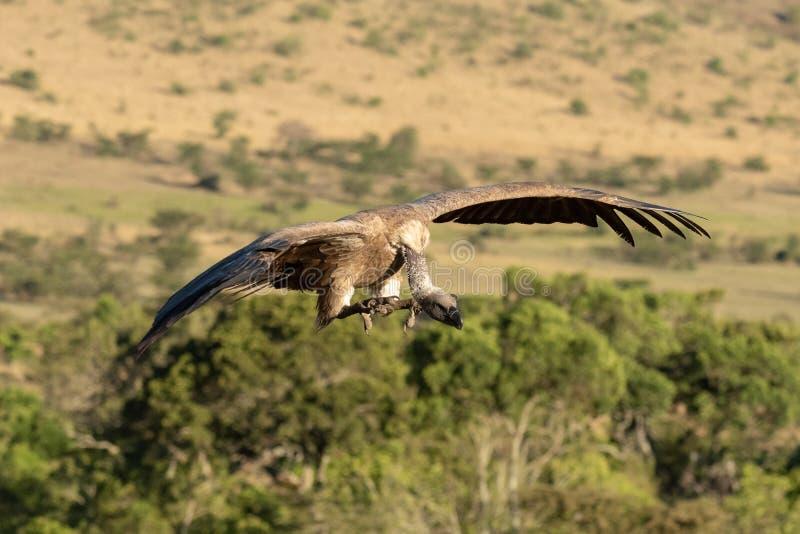 De Afrikaanse gier met witte rug wordt klaar te landen stock foto