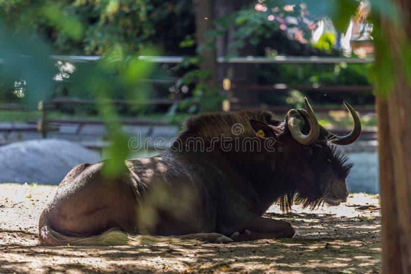 De Afrikaanse hoofed dieren sluiten omhoog royalty-vrije stock foto