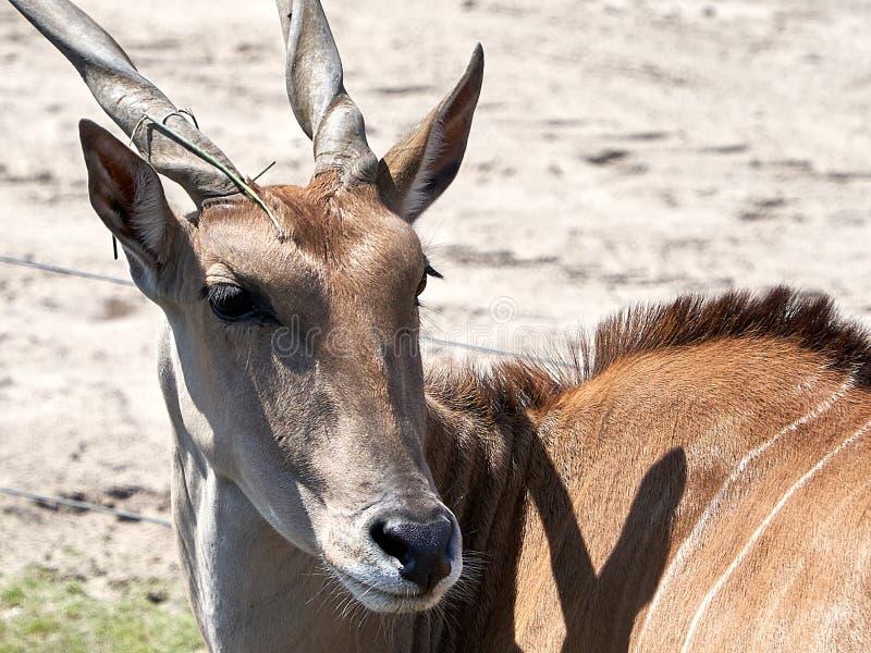 De Afrikaanse hoornen van de antilope dichte omhooggaande schroef royalty-vrije stock afbeelding