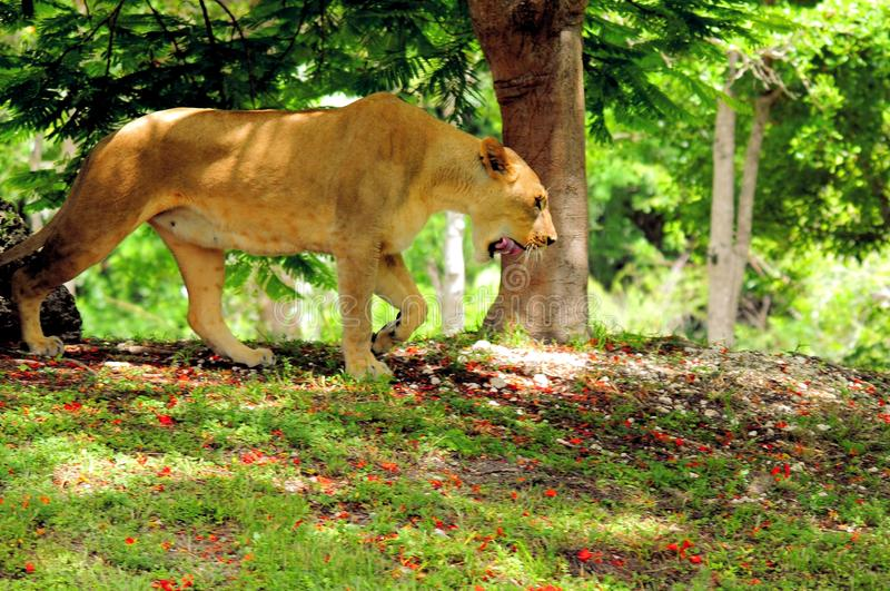 De Afrikaanse leeuw die op lopen snuffelt rond stock afbeelding