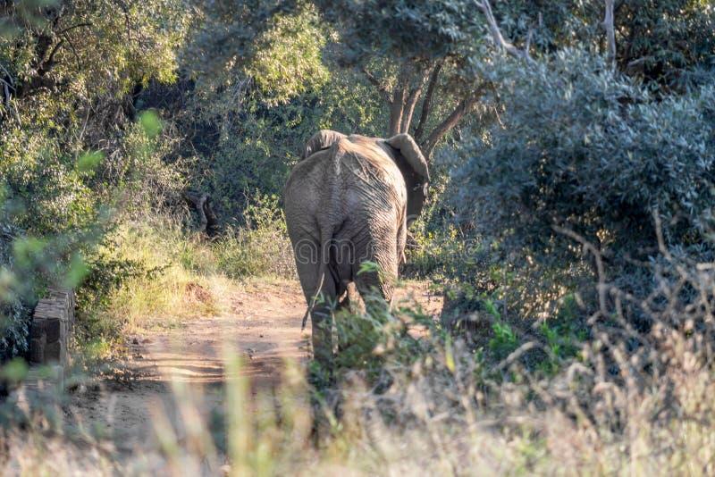 De Afrikaanse olifant die niet een landweg lopen royalty-vrije stock fotografie