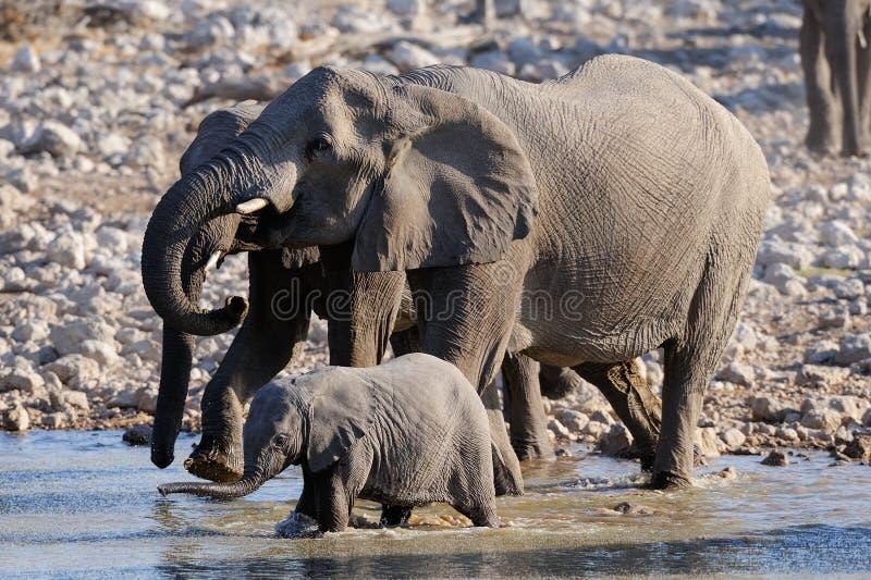 De Afrikaanse olifant met kalf heeft een drank, etosha nationalpark, Namibië stock fotografie