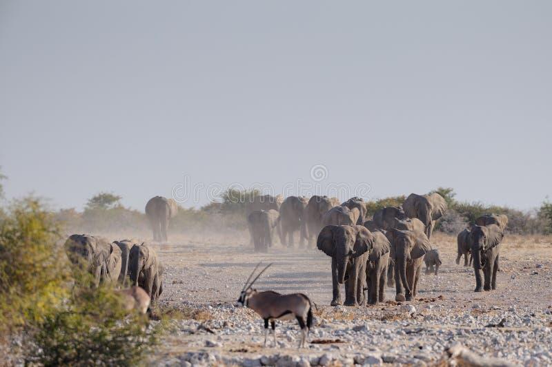 De Afrikaanse olifantskudde loopt aan waterhole, etosha nationalpark, Namibië royalty-vrije stock afbeelding