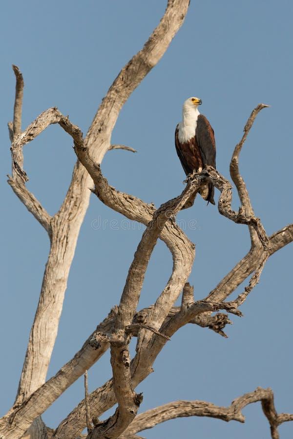 De Afrikaanse Vissen Eagle stock fotografie