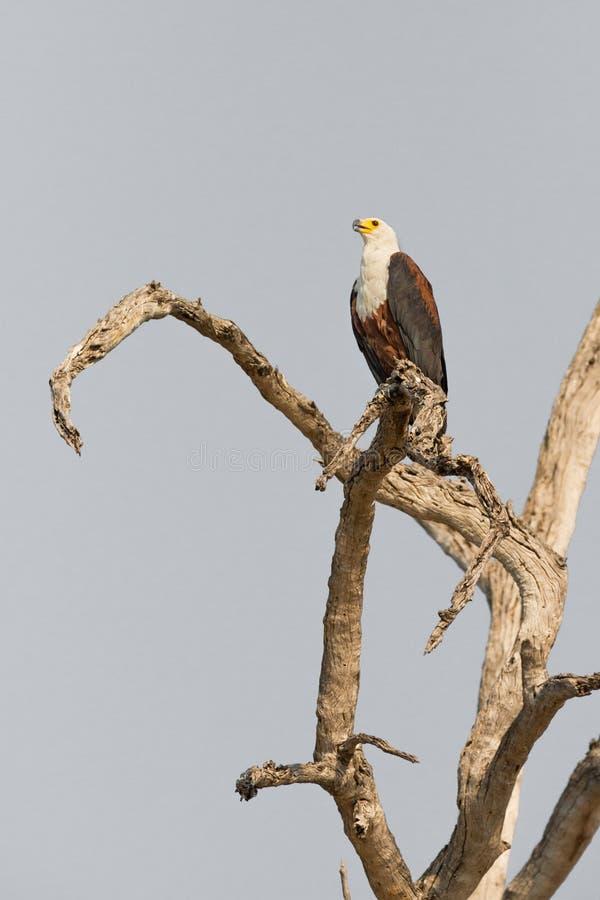 De Afrikaanse Vissen Eagle stock foto