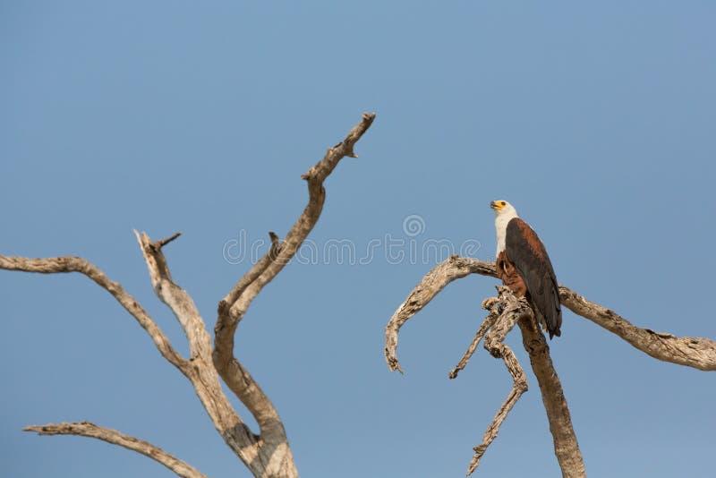 De Afrikaanse Vissen Eagle royalty-vrije stock afbeeldingen