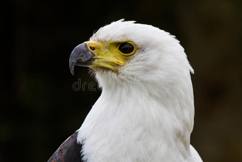 De Afrikaanse Vissen Eagle, Haliaeetus vocifer in een aardpark stock fotografie