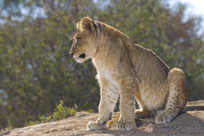 De Afrikaanse welp van de Leeuw, Zuid-Afrika stock foto