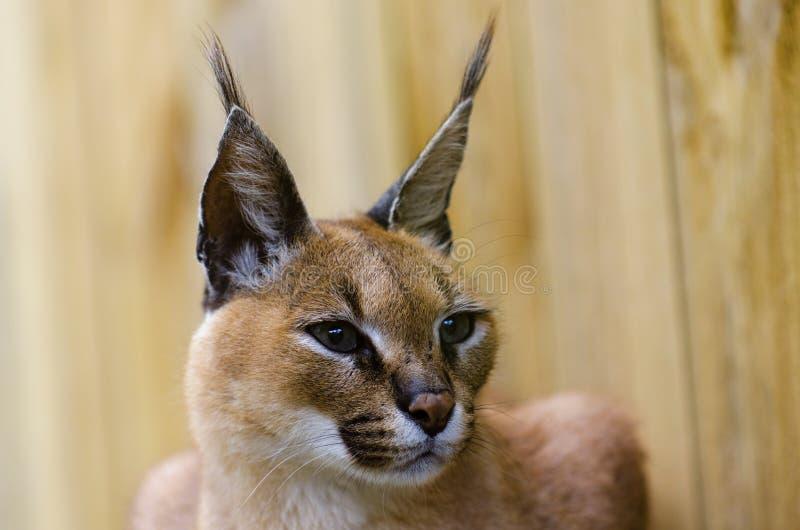 De Afrikaanse wilde kat van Caracal royalty-vrije stock foto's