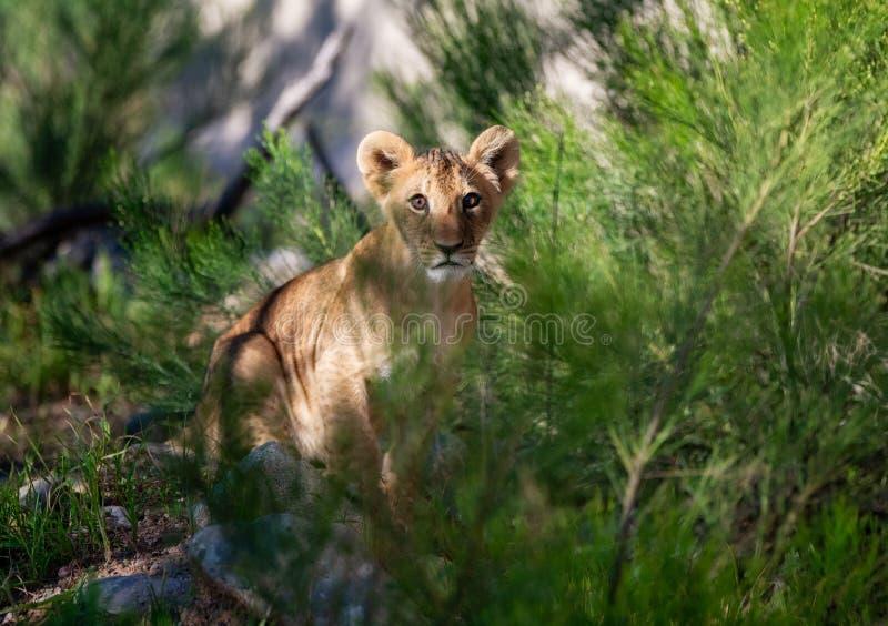De Afrikaanse zitting van de leeuwwelp in de struiken stock foto's