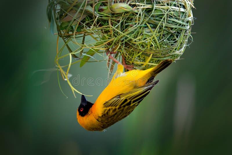 De Afrikaanse zuidelijke gemaskeerde wever, Ploceus-velatus, bouwt de groene Gele vogels van het grasnest met zwart hoofd met roo royalty-vrije stock foto