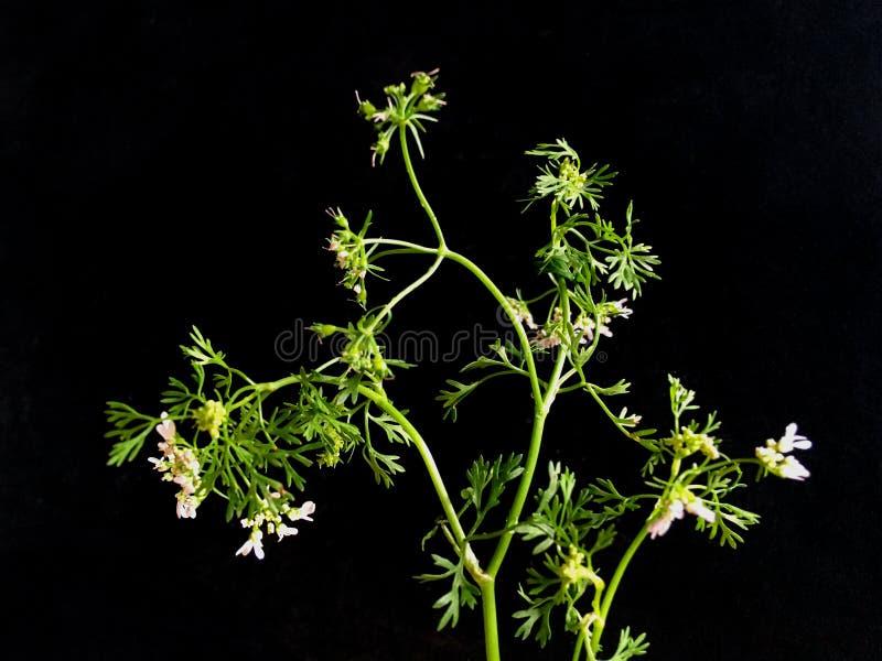10 de agosto de 2019 - PODS verde PARSLEY PLANANT em kalya de fundo preto fotografia de stock